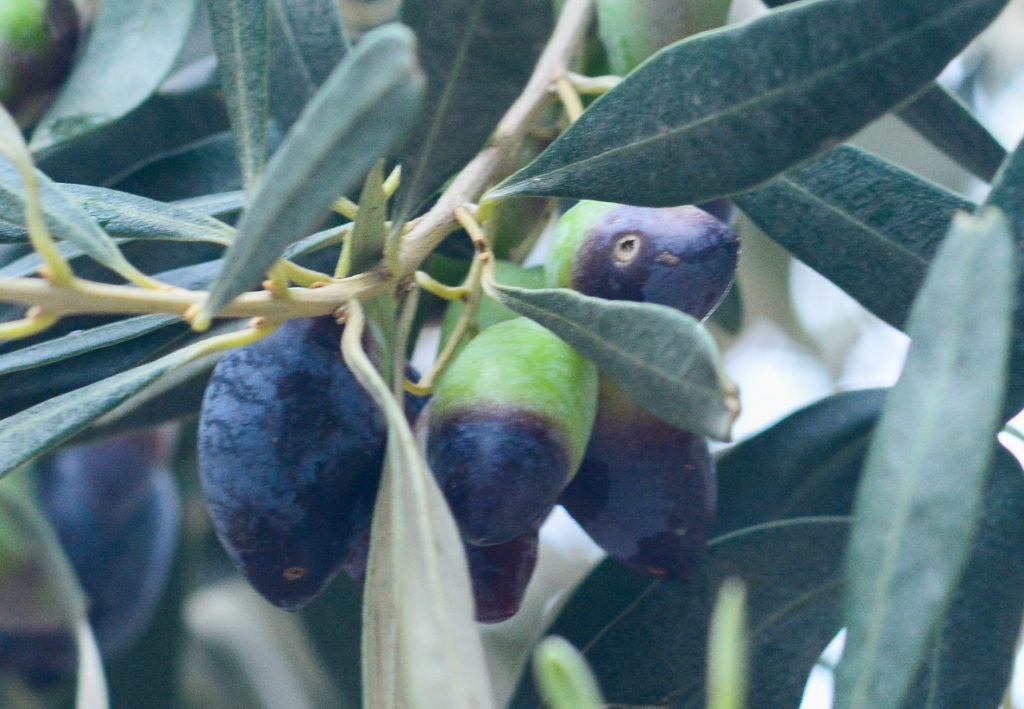 Оливки пораженные Дакос